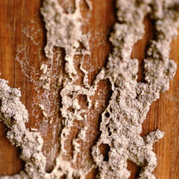 Digested cellulose left behind by termites.