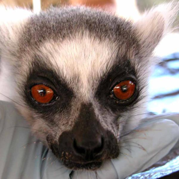 Lemurs look different! with large red eyes