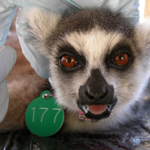 Lemurs look different! with a facial mask