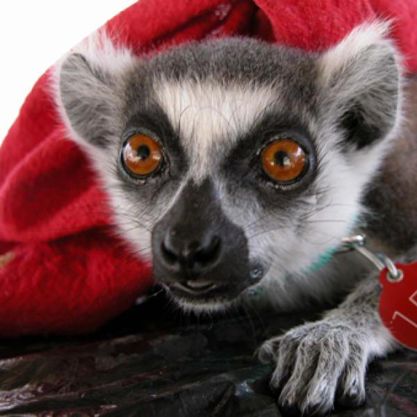 Lemurs look different! with dark black noses
