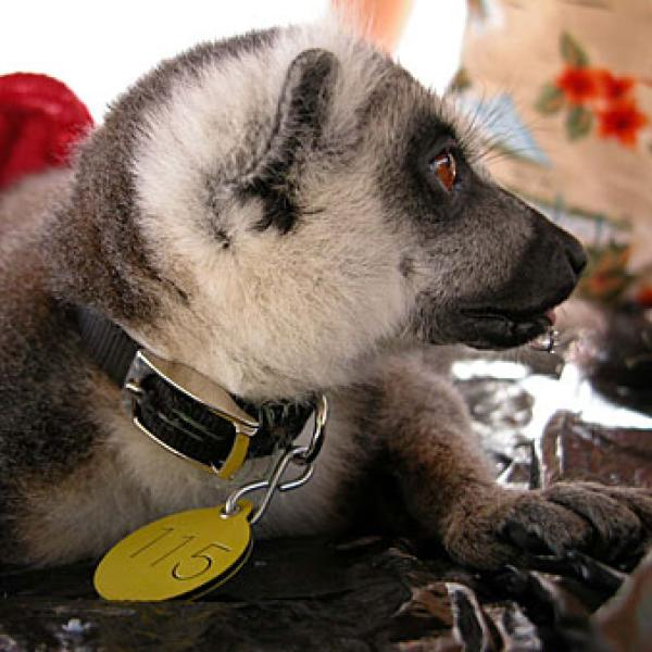 A Lemur after receiving a collar and tag.