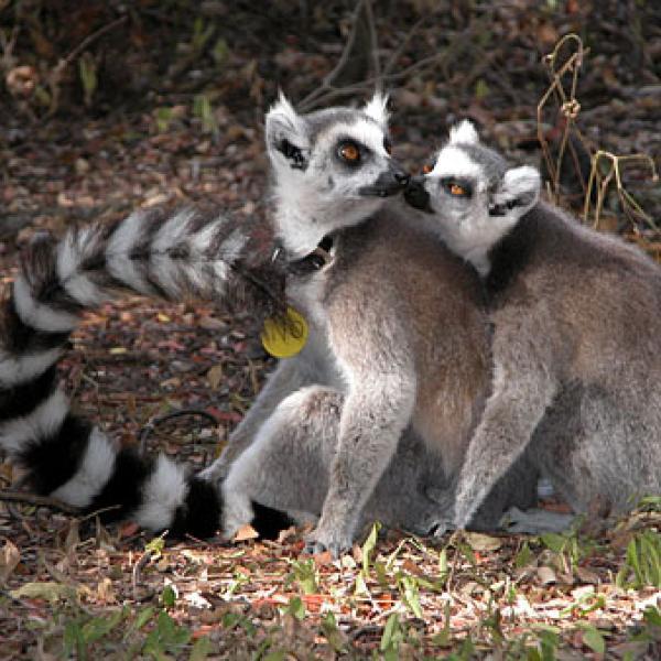 Lemurs touching noses.