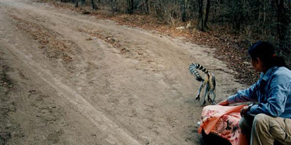 a lemur running away after being released