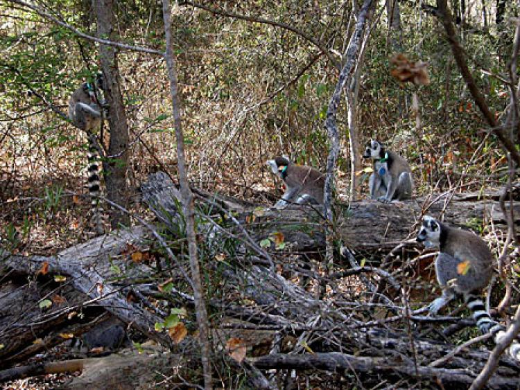 A group of lemurs in the reserve.