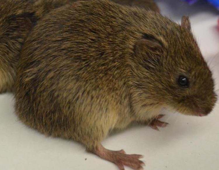 Vole Hanging out before Implants