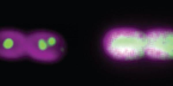 Two cyanobacteria cells divide under the microscope.