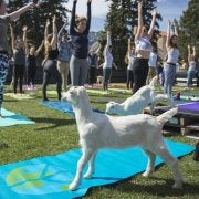 Goat with people doing yoga