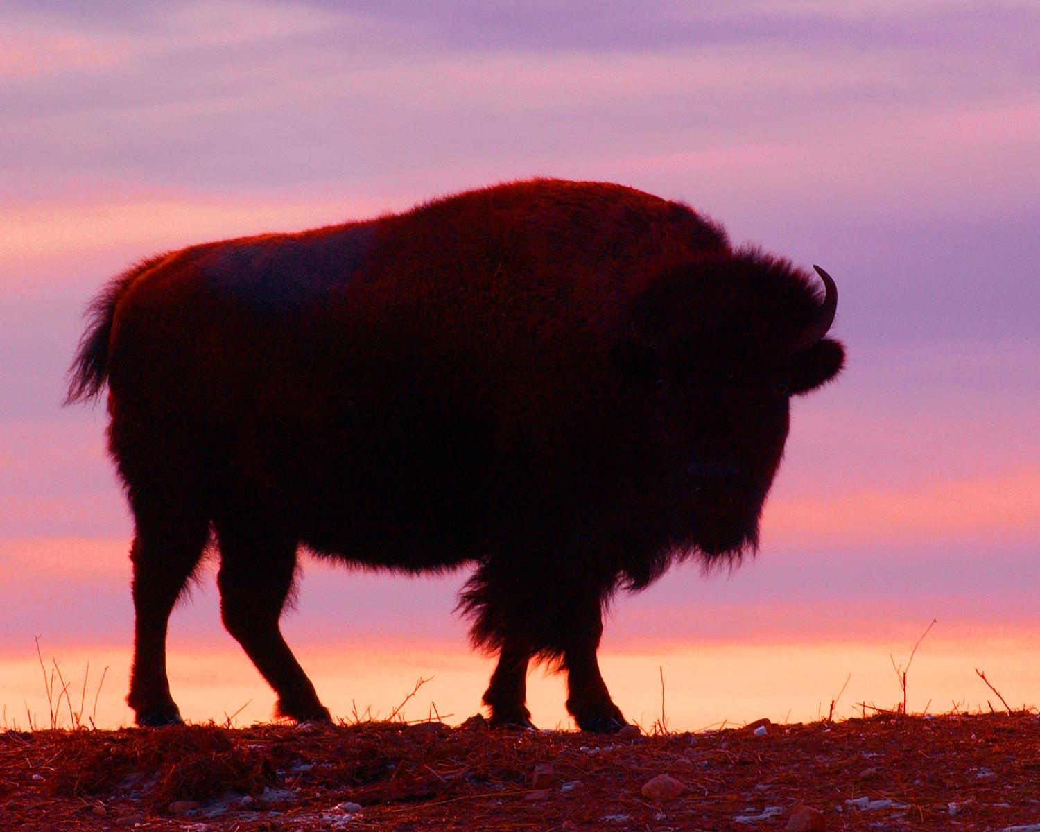 Buffalo with sun in background