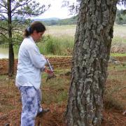 Tree ring sampling / Sacando muestras de anillos de árbol