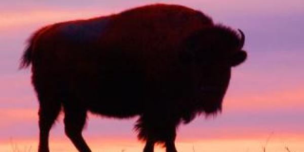 silhouette of a bison at sunset
