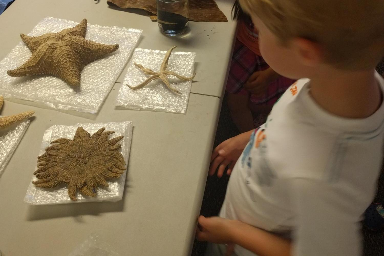 Student looking at starfish specimens