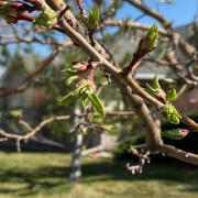 tree sprouting buds