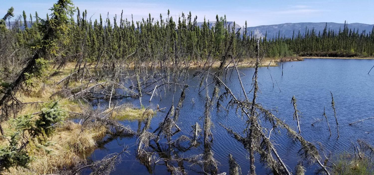 An Arctic forest struggles to survive in a lake created by abrupt permafrost thaw.