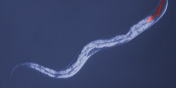 C Elegans under the microscope