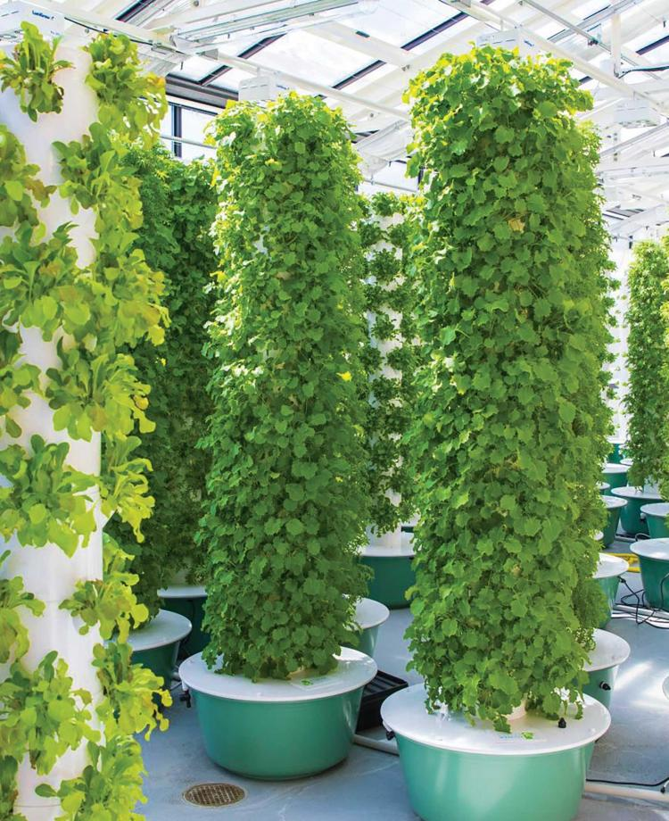 Fresh greens growing in a high-tech greenhouse