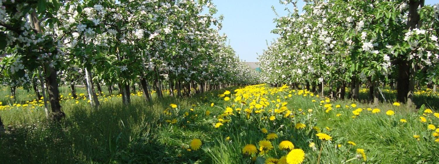 Apple orchard with dandelions in the green grass