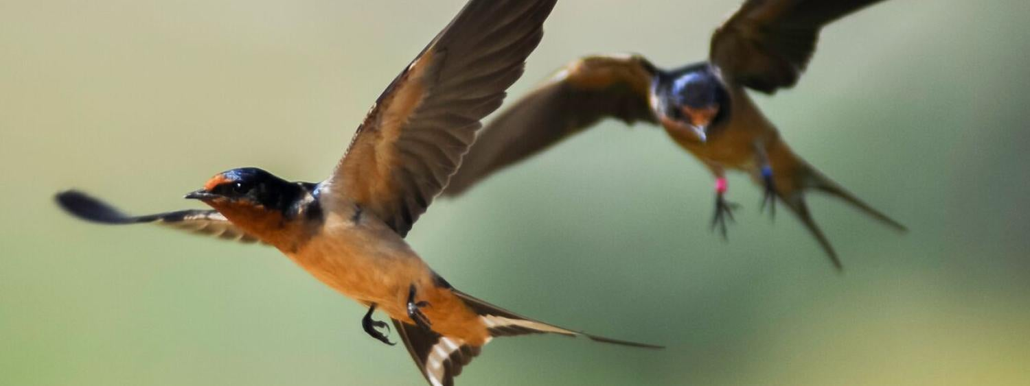 Banded Barn swallows are photographed mid-flight