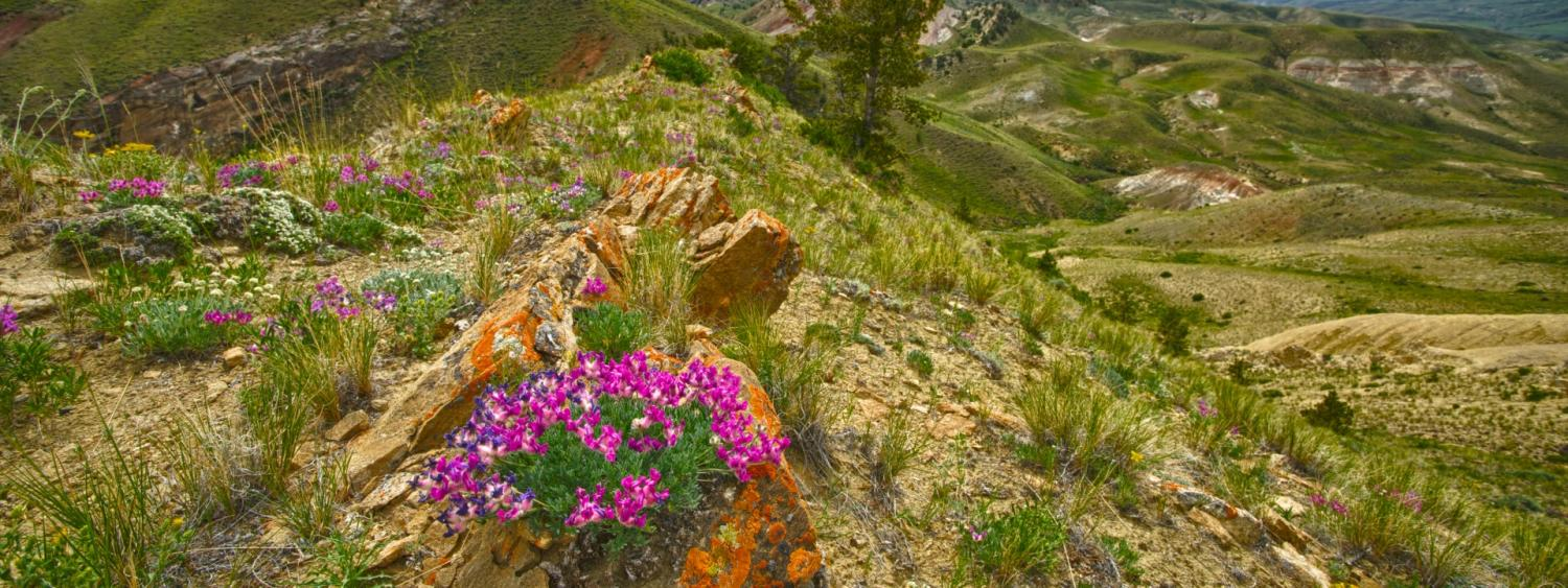 Pink flowers in the Rocky Mountains