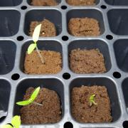 Seedlings of tomatoes, lettuce, and mint.