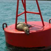 Seal on a buoy