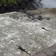 Group of Galápagos iguana