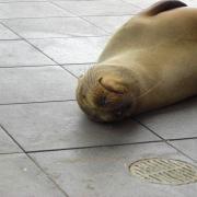 Seal sunning on the sidewalk