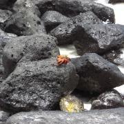 Galápagos crab on rocks