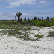 Galápagos cacti