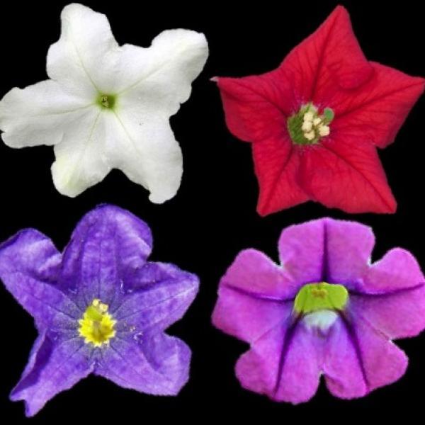petunieae