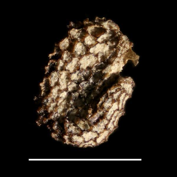 Hyocyamus_fossil