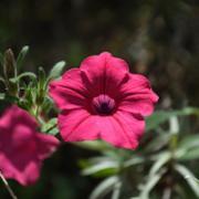 Calibrachoa eglandulata