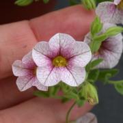 Calibrachoa pubescens