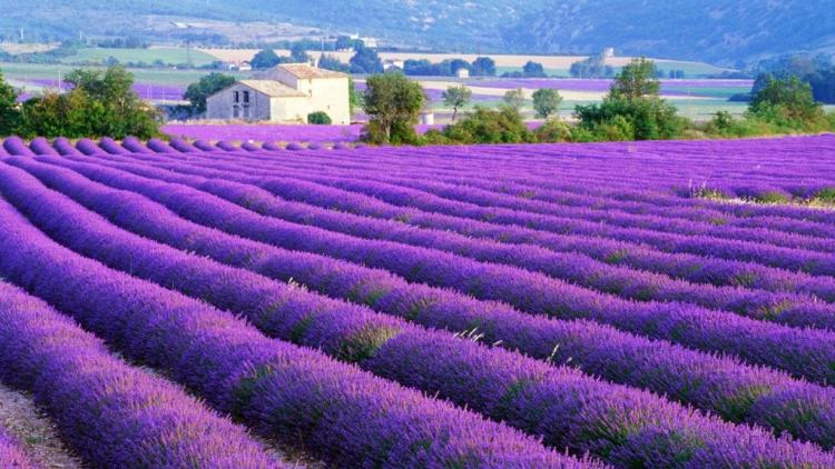 Lavender Farm, Provenca, France
