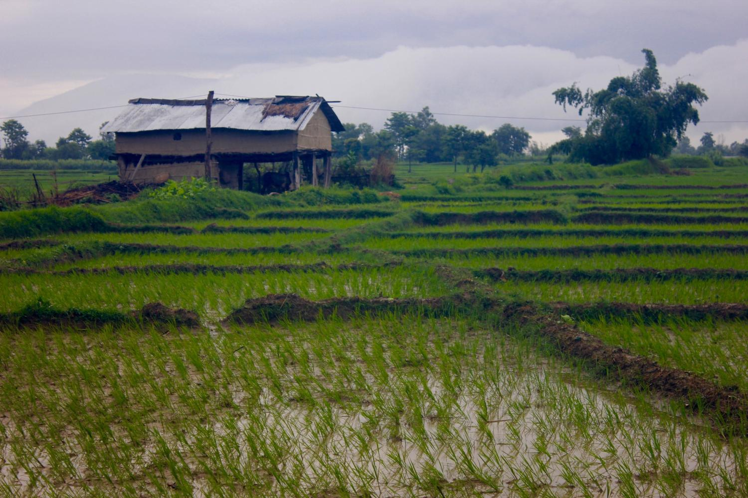 Agriculture in the Terai