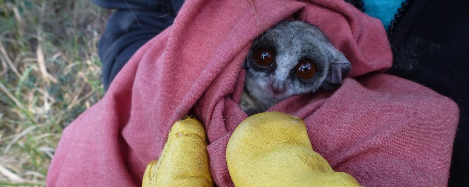an African bushbaby in a blanket