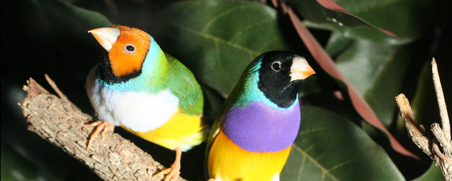 Two Gouldian finches on a branch