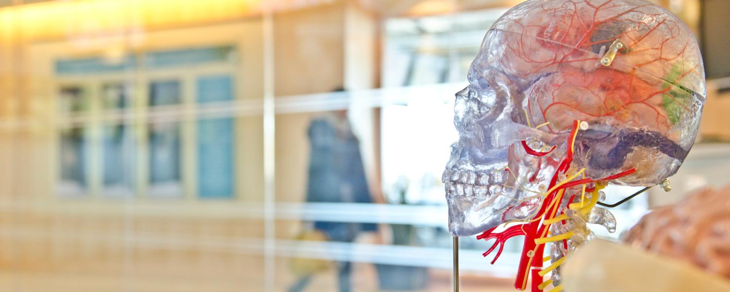 Model of transparent human head with organs showing