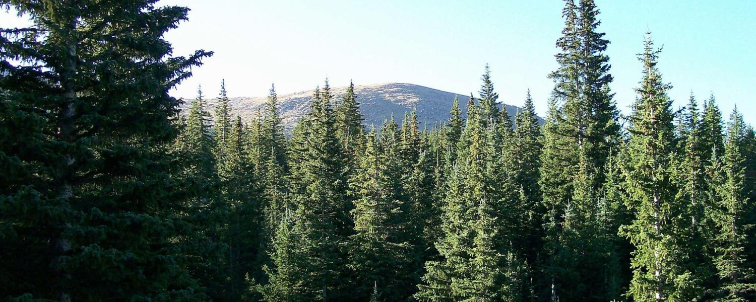 engelmann spruce at Pike's Peak
