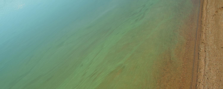 Cyanobacteria colonies bloom on a beach.