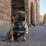 Rudy the French bulldog seen at the 2017 Homecoming Carnival