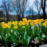 tulips on campus