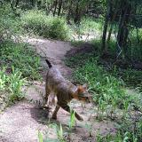 A cat walks down a forest trail.