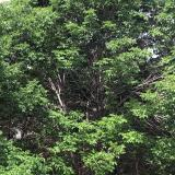 Tree infected with emerald ash borer insects