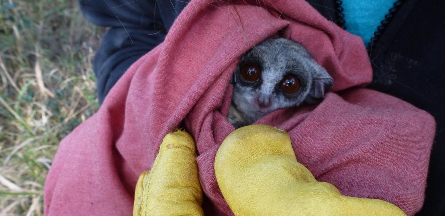 Galago moholi bundled up in a cloth