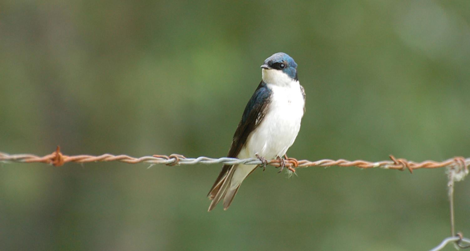 A tree swallow perches on a wire.