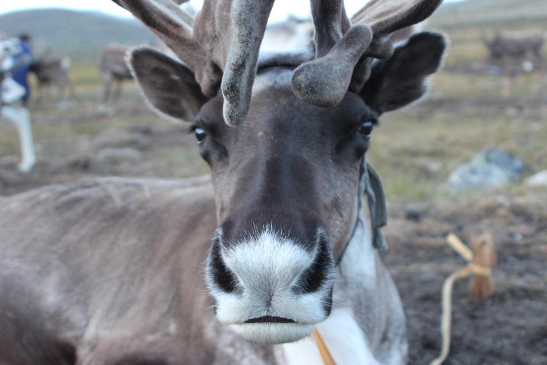 A Mongolian reindeer.