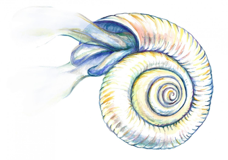 pteropod
