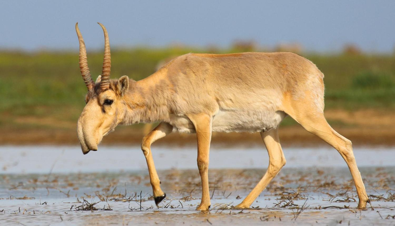 A saiga antelope at a watering hole