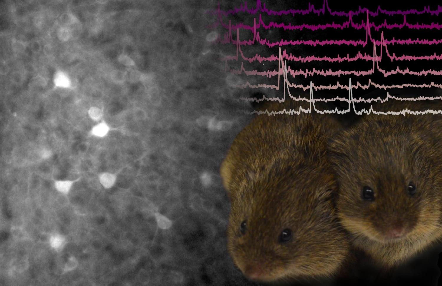 two voles next to an image of their brain activity