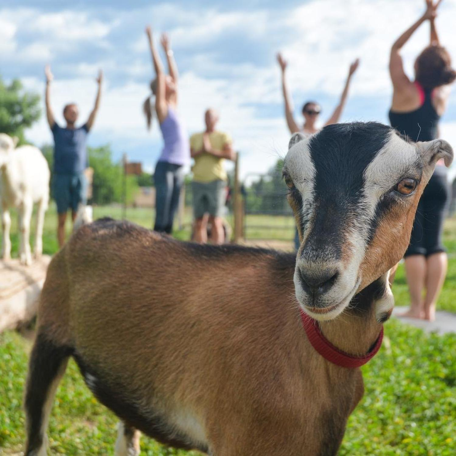 Goat yoga, photo from The Rec Instagram